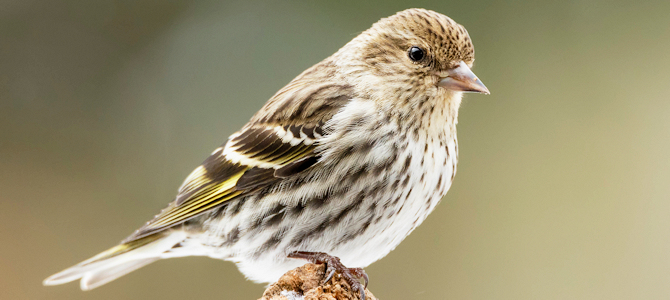 Pine Siskin - Photo by NPS/N. Lewis