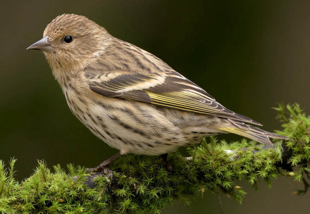 Soft Pine Siskin - Photo by Luis Villablanca