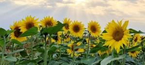 Field of Sunflowers - Photo by Esther van Dijk