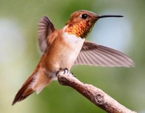 Rufous Hummingbird - Photo by NPS/Andy Bridges