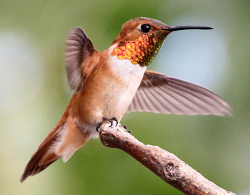 Rufous Hummingbird - Photo by NPS/Andy Bridges