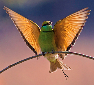 Asian Green Bee-Eater - Photo by Deepak Sankat
