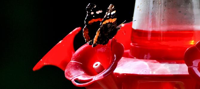 Butterfly on a Hummingbird Feeder - Photo by likeaduck