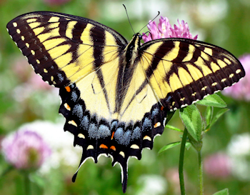 Eastern Tiger Swallowtail - Photo by khteWisconsin