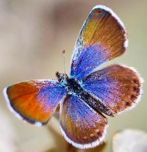 Western Pygmy Blue - Photo by Renee Grayson