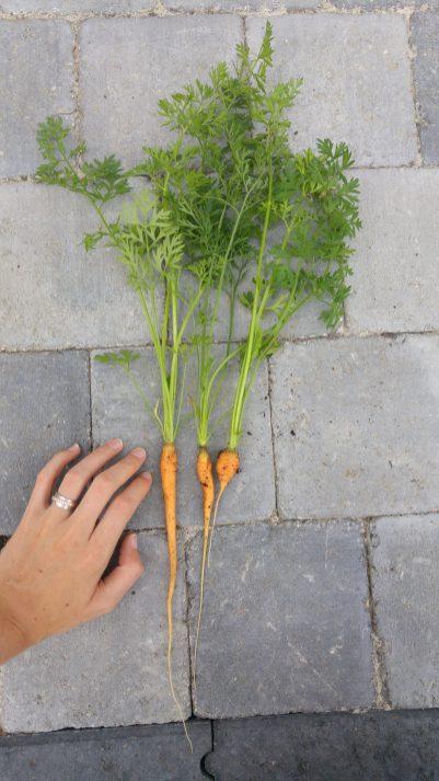 FLTR: Rainbow & Purple Haze Carrot, Nantes Carrot & Round Carrot