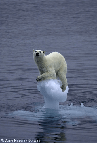 Polar Bear trapped on thinning ice