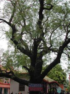 Árvore de Neem, onde Sri Caitanya Mahaprabhu apareceu em Yogapitha
