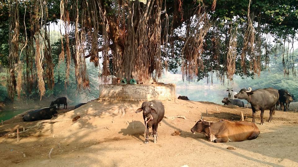 Kumudavana, 01 de novembro, Sri Vraja-Mandala Parikrama 2015.