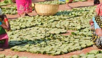 वनवासियों के लिए संजीवनी है तेंदूपत्ता संग्रहण