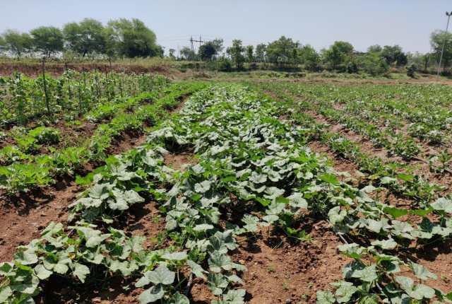 लॉकडाउन में सब्जी उत्पादन दे रहा रोजगार का बेहतर अवसर