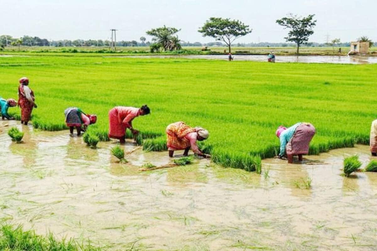 छग : 3 लाख हेक्टेयर में हो चुकी खरीफ फसलों की बुआई