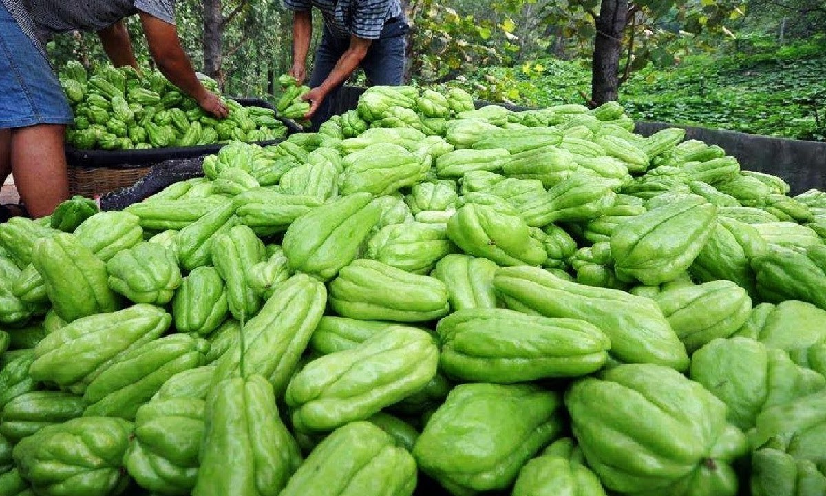 चायोट की खेती और व्यापारिक लाभ