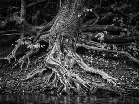 black & white photograph of tree trunk with exposed roots on riverbank