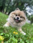 happy Pomeranian dog sitting on grass
