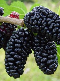 Mulberry (200g)