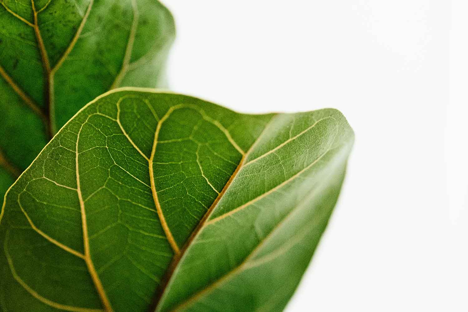 Why You Should Avoid Moving Your Fiddle Leaf Fig Better