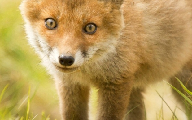 Cute Lips Hd Wallpapers Cute Fox Cub Wallpapers