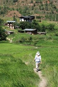 walk through chimi lhakhang rice fields