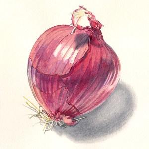 Purple Onion illustration, watercolor and graphite