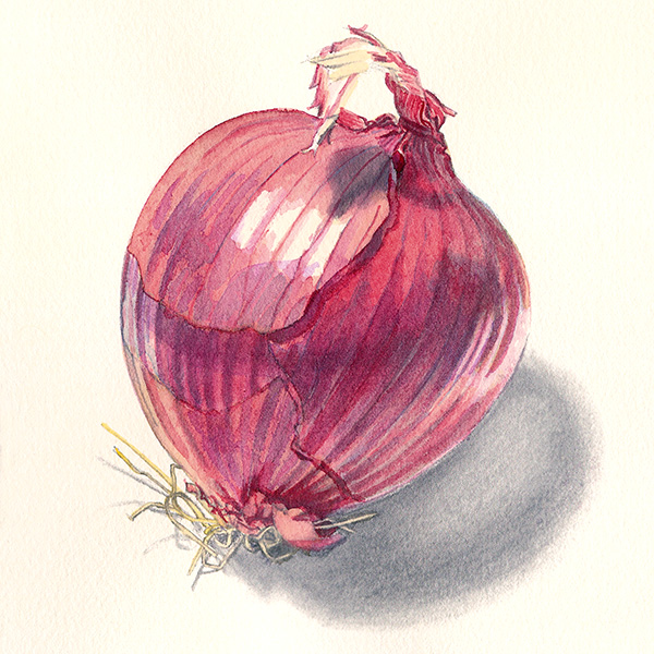 Purple Onion, watercolor and graphite