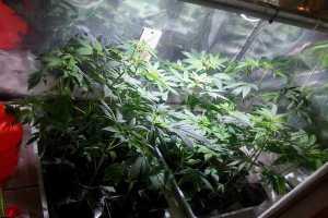 Uprawiali marihuanę