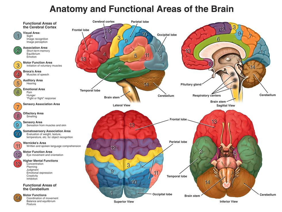 left side brain functions diagram turtle reproductive system injury facts