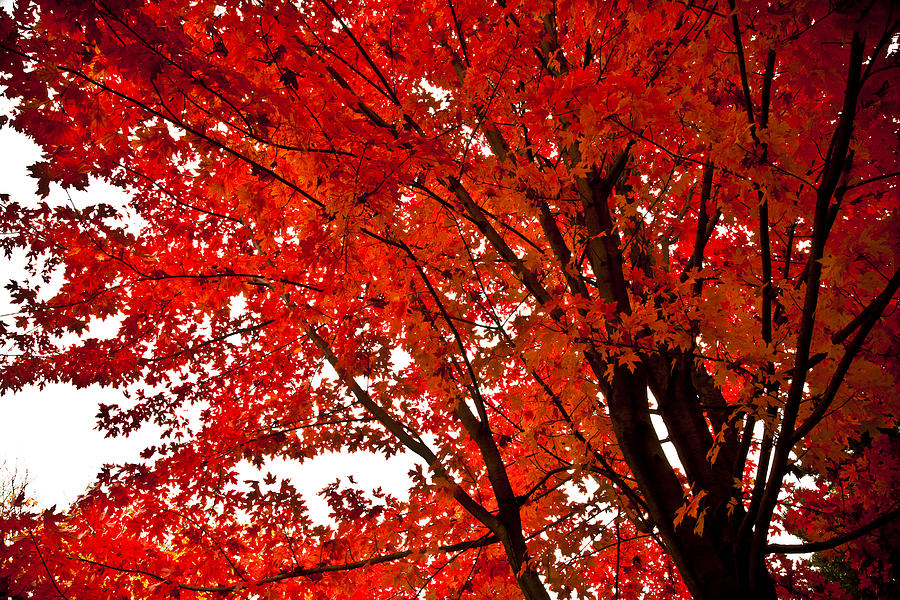 Fall Lights Iphone Wallpaper Gallery Red Maple Tree Forest