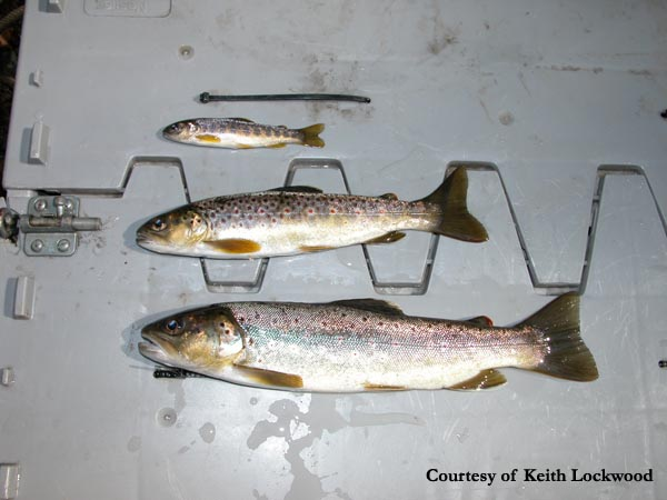 Trout Wallpaper Iphone Gallery Brook Trout Fingerlings