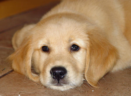 Kermit Iphone Wallpaper Gallery Super Cute Puppies Golden Retriever