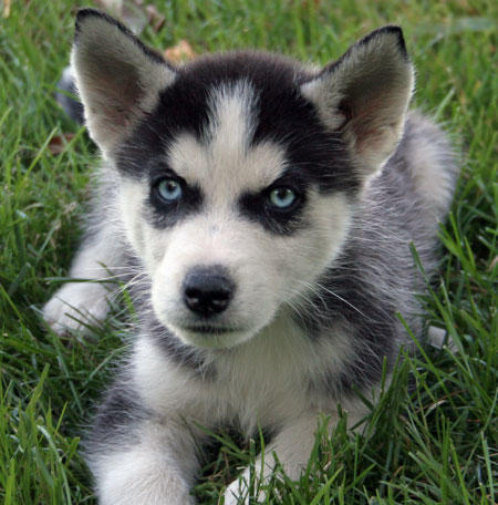 Cute White Dogs Wallpapers Husky With Green Eyes
