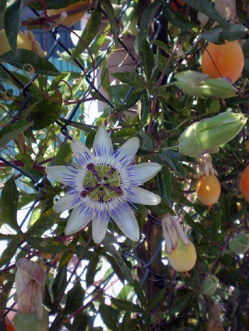 floarea patimilor