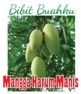 Bibit Mangga Harum Manis