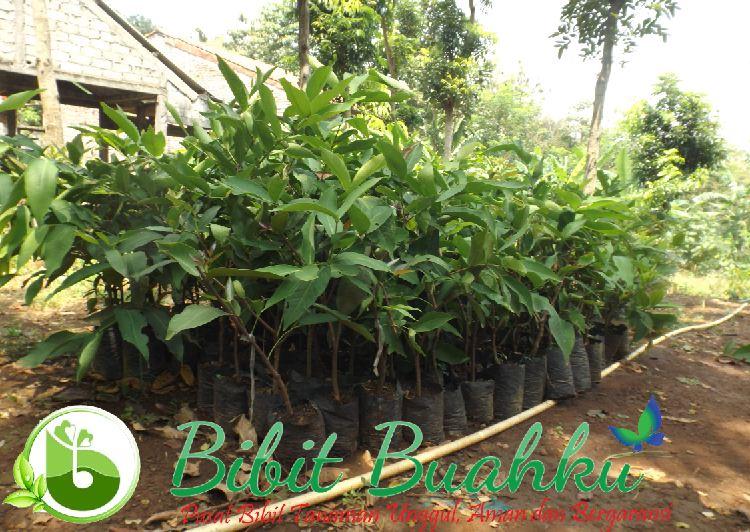 Bibit Jambu Madu Deli Hijau