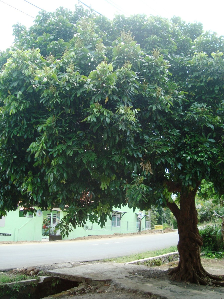 Kenapa Pohon Kelengkeng Tidak Berbuah