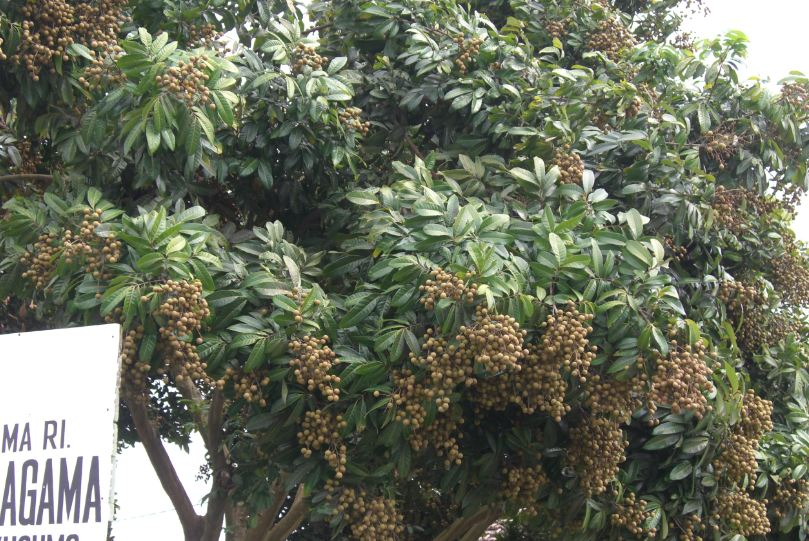 Pohon Kelengkeng Tidak Berbuah