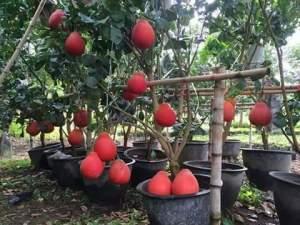gambar pohon pamelo merah berbuah