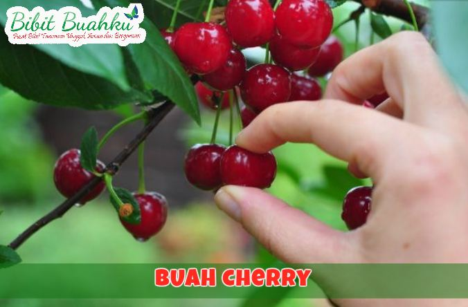 jual bibit cherry