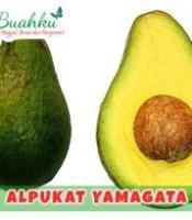 alpukat-yamagata
