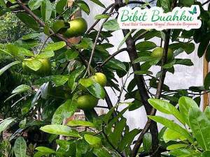 bibit sawo black sapote