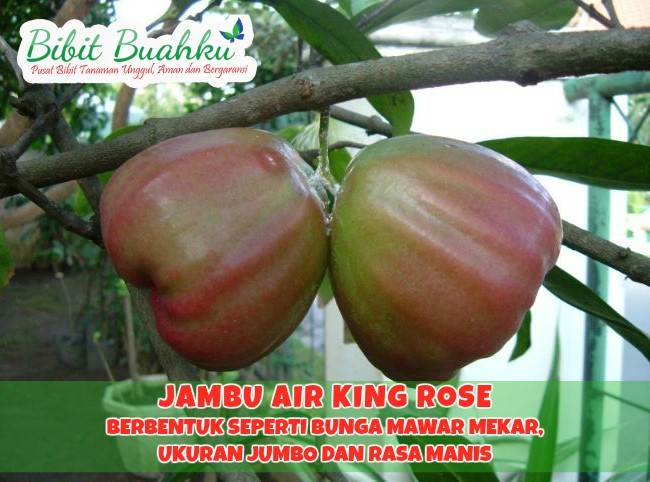 Bibit Jambu Air King Rose
