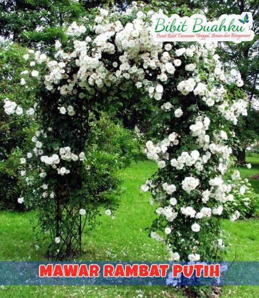 Mawar Rambat Putih