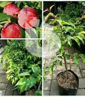 gambar bibit buah plum
