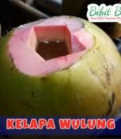 kelapa wulung