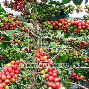 gambar kopi-arabika