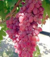 buah anggur dubovsky pink