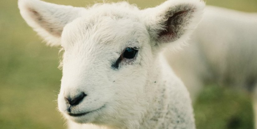 Are you a sheep?