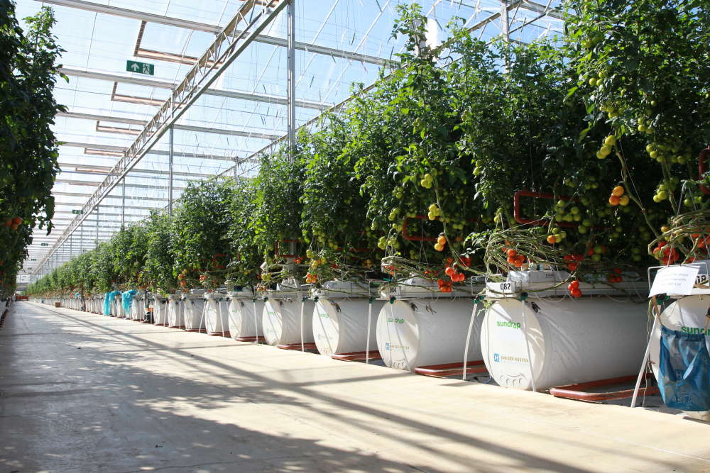 content-1476263897-sundrops-tomatoes