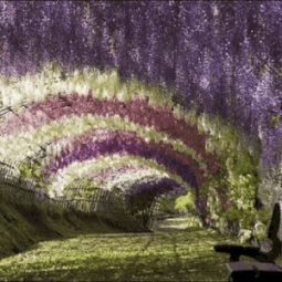 wisteria-tunnel