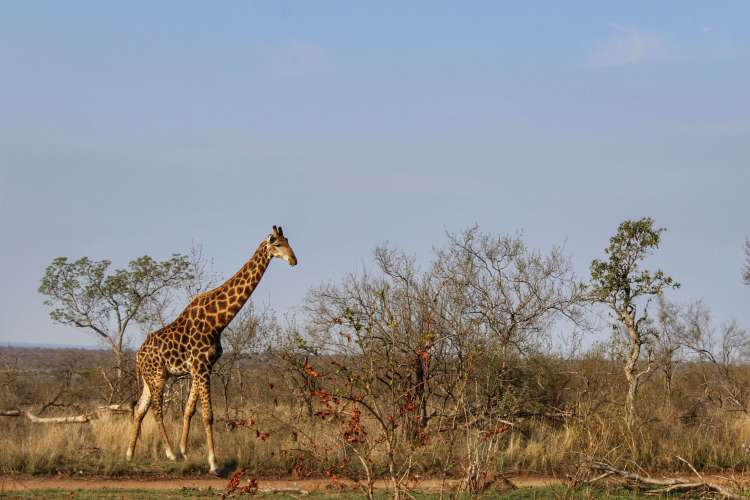 Jirafa en el Parque Kruger - Bichito viajero
